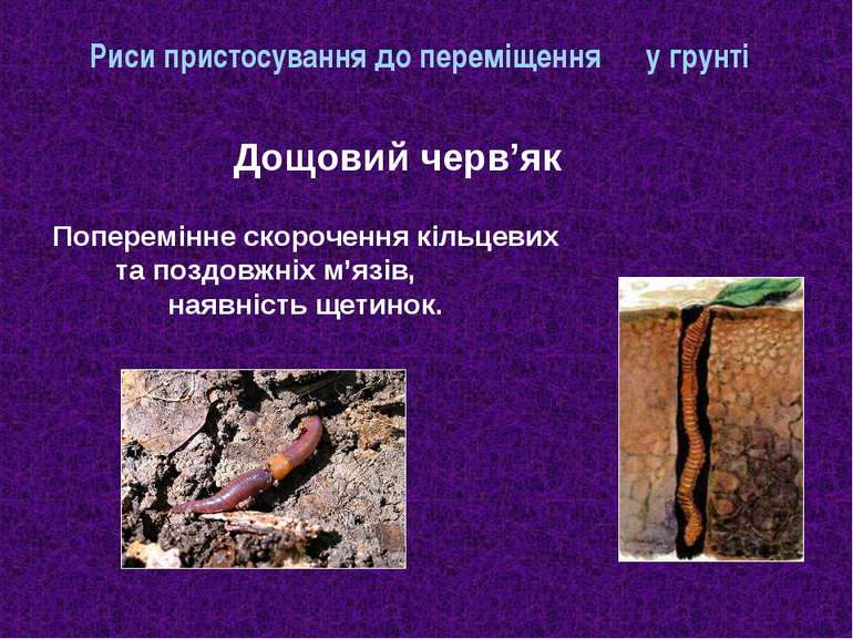 Риси пристосування до переміщення у грунті Дощовий черв'як Поперемінне скороч...