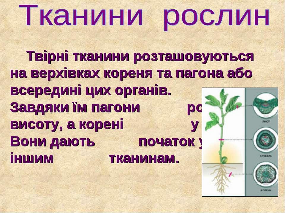 Твірні тканини розташовуються на верхівках кореня та пагона або всередині цих...
