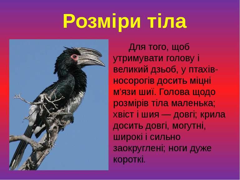 Для того, щоб утримувати голову і великий дзьоб, у птахів-носорогів досить мі...