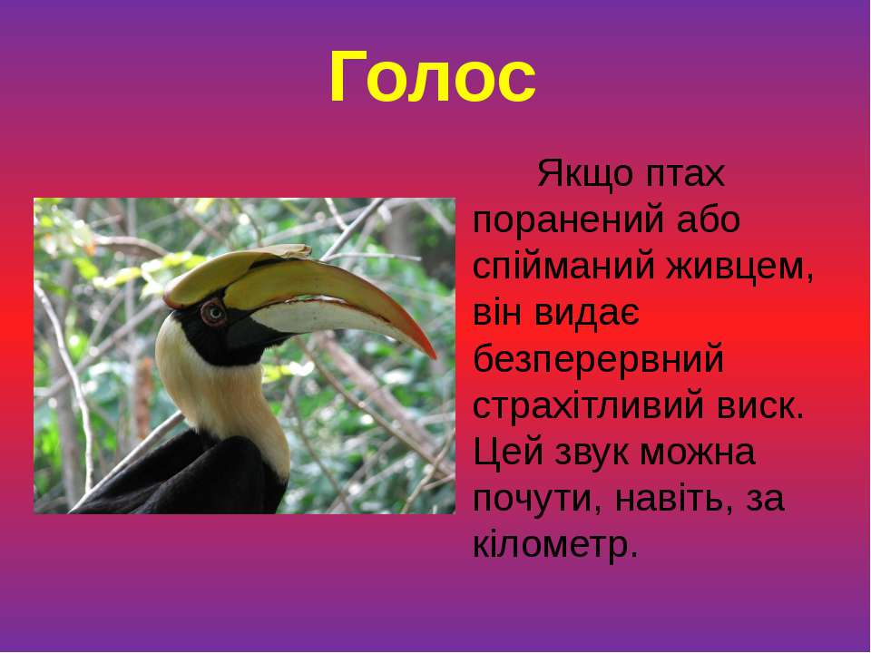 Якщо птах поранений або спійманий живцем, він видає безперервний страхітливий...