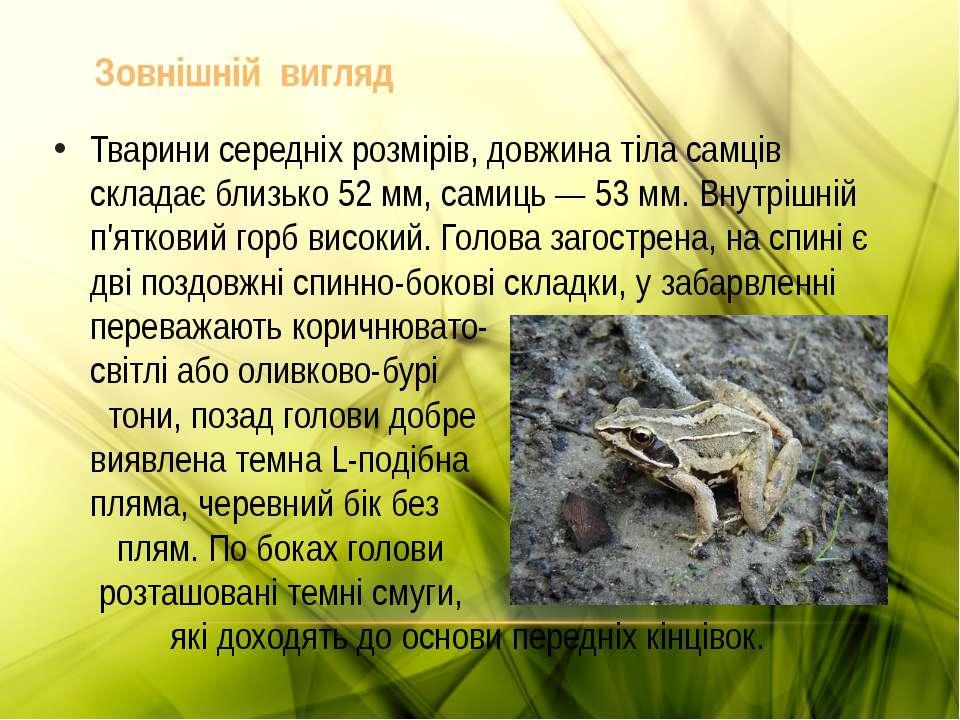 Тварини середніх розмірів, довжина тіла самців складає близько 52 мм, самиць ...
