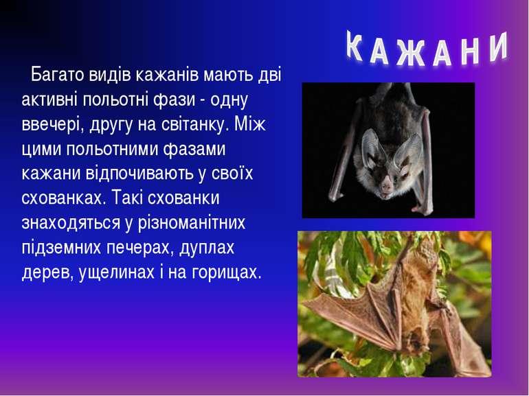 Багато видів кажанів мають дві активні польотні фази - одну ввечері, другу на...