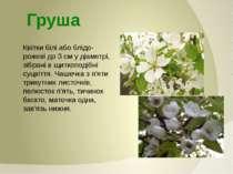 Квітки білі або блідо-рожеві до 3 см у діаметрі, зібрані в щиткоподібні суцві...