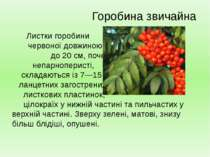Листки горобини червоної довжиною до 20 см, почергові, непарноперисті, склада...
