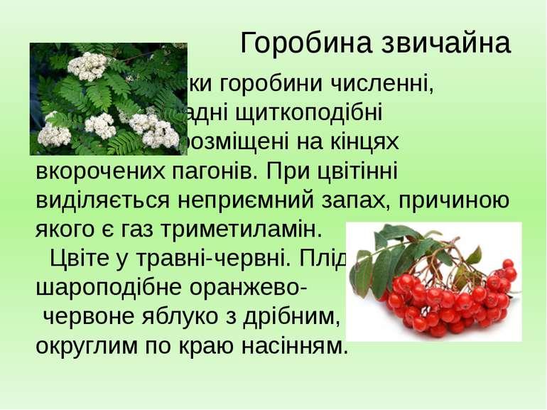 Квітки горобини численні, зібрані у складні щиткоподібні суцвіття, які розміщ...