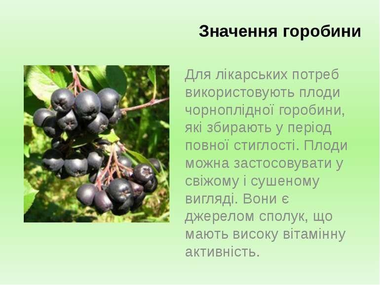 Для лікарських потреб використовують плоди чорноплідної горобини, які збирают...