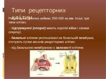Рецепторна ділянка займає 250-500 кв.мм. Існує три типиклітин: - підтримуючі...