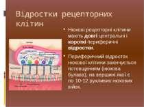 Нюхові рецепторні клітини мають довгі центральні і короткі периферичні відрос...
