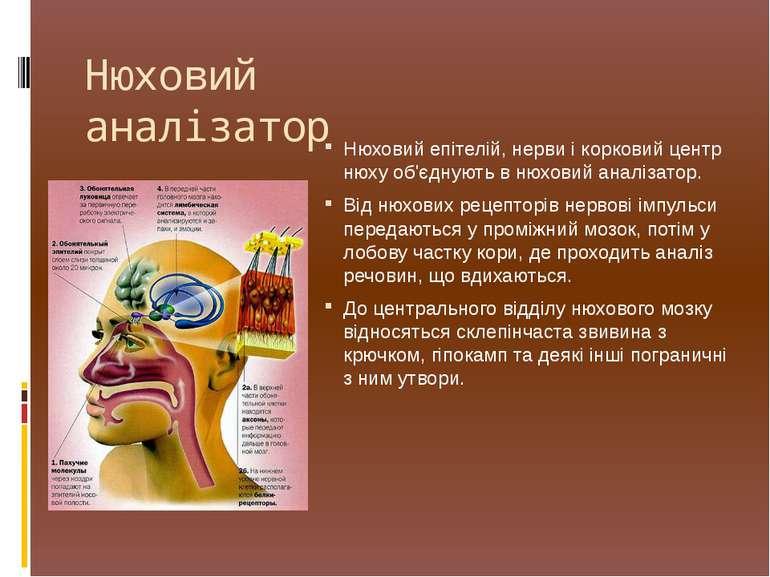 Нюховийепітелій, нерви і корковий центр нюху об'єднують внюховий аналізатор...