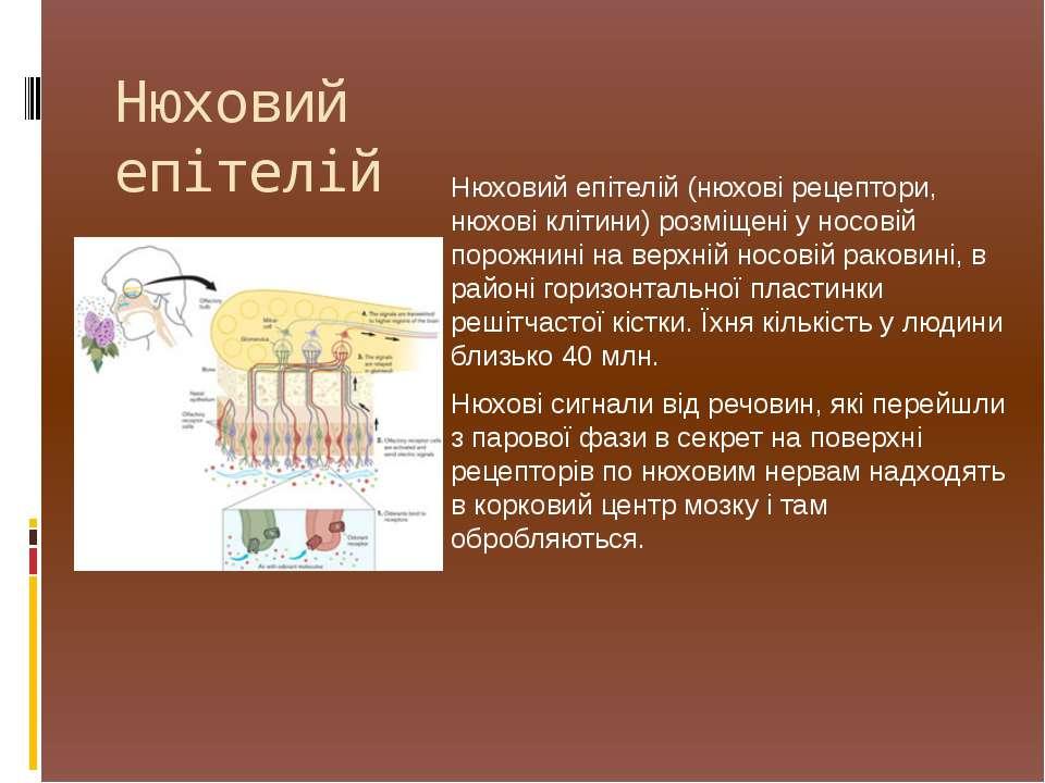 Нюховий епітелій (нюхові рецептори, нюхові клітини) розміщені у носовій порож...
