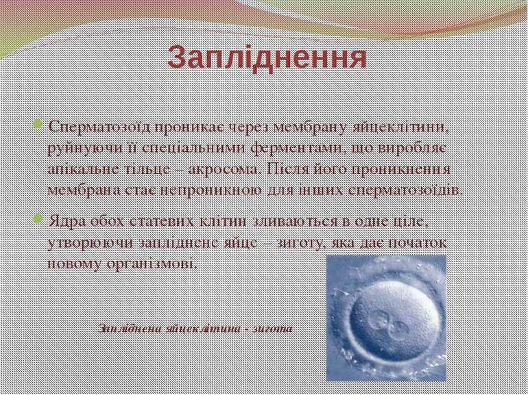Сперматозоїд проникає через мембрану яйцеклітини, руйнуючи її спеціальними фе...