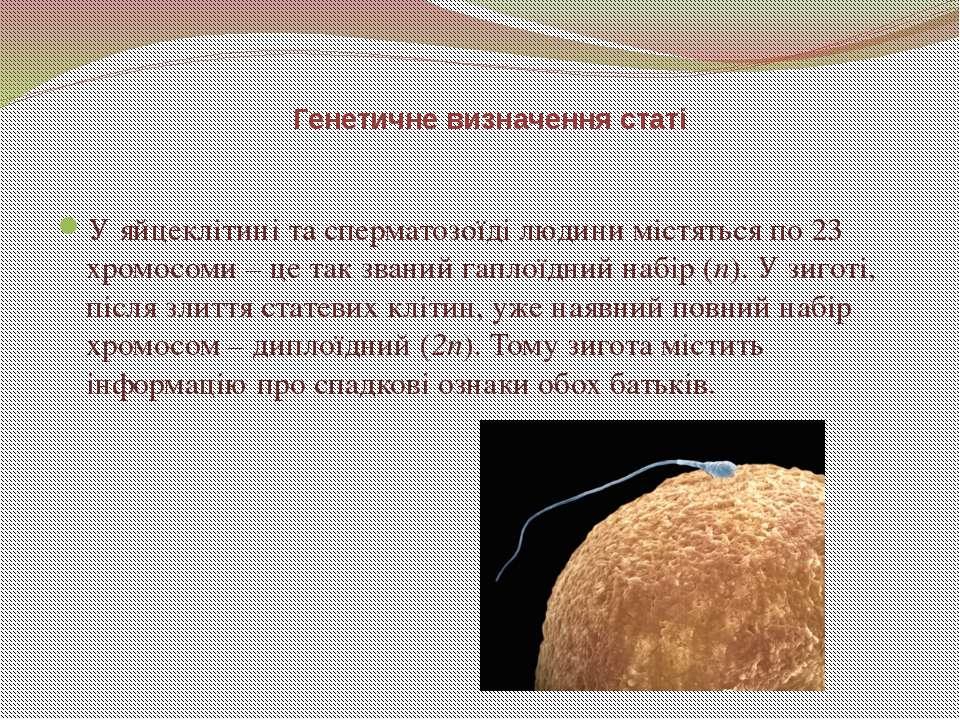 У яйцеклітині та сперматозоїді людини містяться по 23 хромосоми – це так зван...