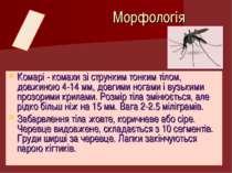 Комарі - комахи зі струнким тонким тілом, довжиною 4-14 мм, довгими ногами і ...