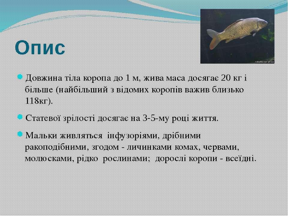 Довжина тіла коропа до 1 м, жива маса досягає 20 кг і більше (найбільший з ві...