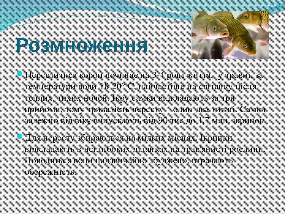 Розмноження Нереститися короп починає на 3-4 році життя, у травні, за темпера...