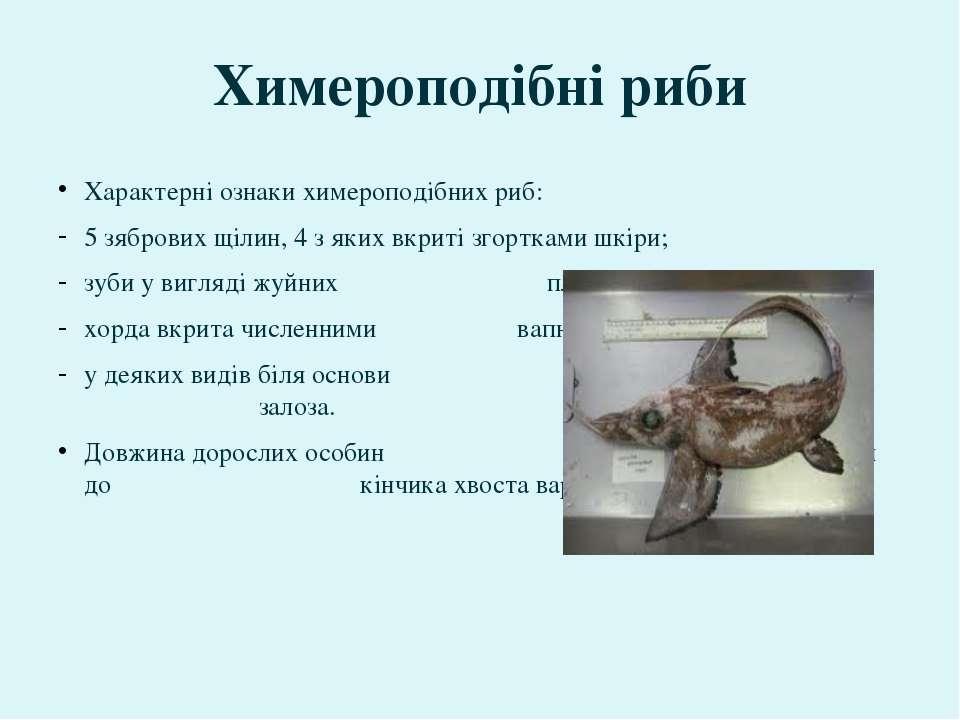 Характерні ознаки химероподібних риб: 5 зябрових щілин, 4 з яких вкриті згорт...