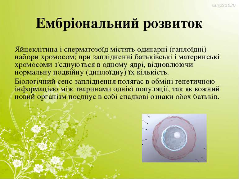 Ембріональний розвиток Яйцеклітина і сперматозоїд містять одинарні (гаплоїдні...