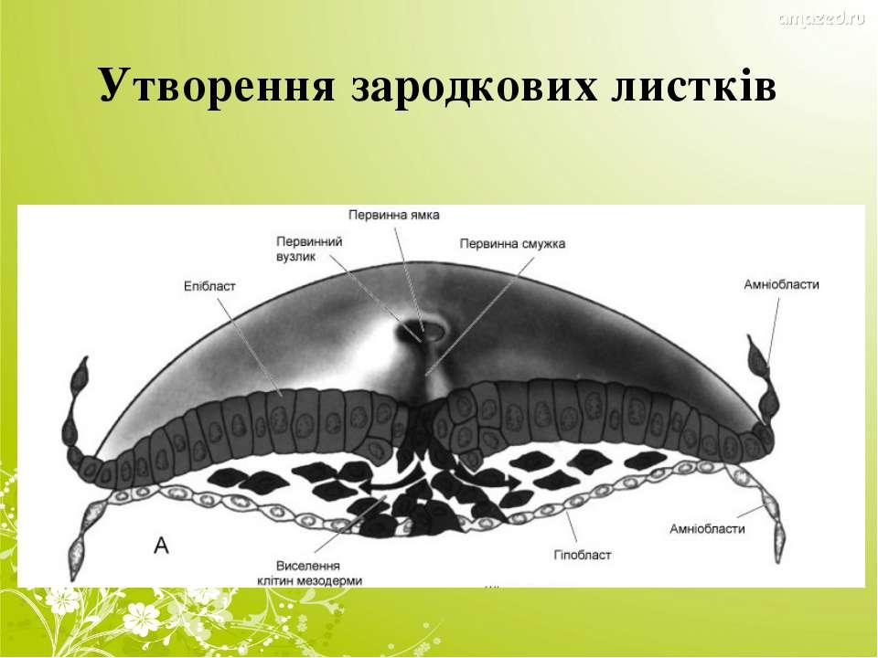 Утворення зародкових листків