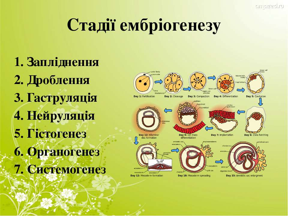 Стадії ембріогенезу 1. Запліднення 2. Дроблення 3. Гаструляція 4. Нейруляція ...