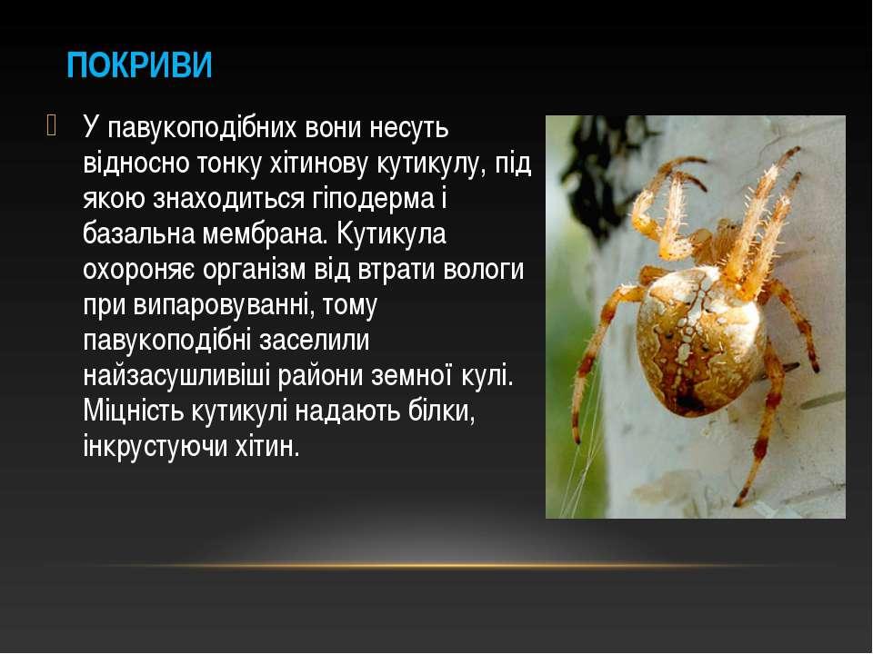 У павукоподібних вони несуть відносно тонку хітинову кутикулу, під якою знахо...