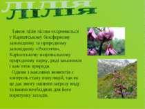 Також лілія лісова охороняється у Карпатському біосферному заповіднику та при...