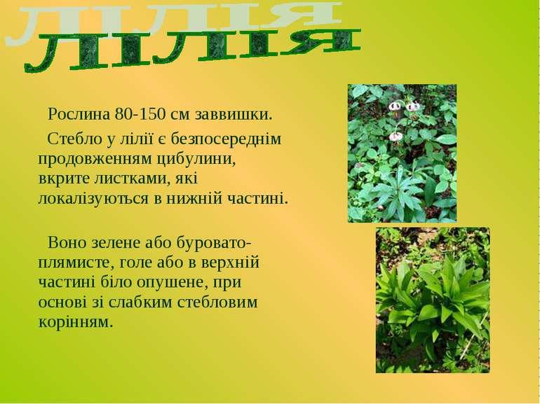 Рослина 80-150 см заввишки. Стебло у лілії є безпосереднім продовженням цибул...