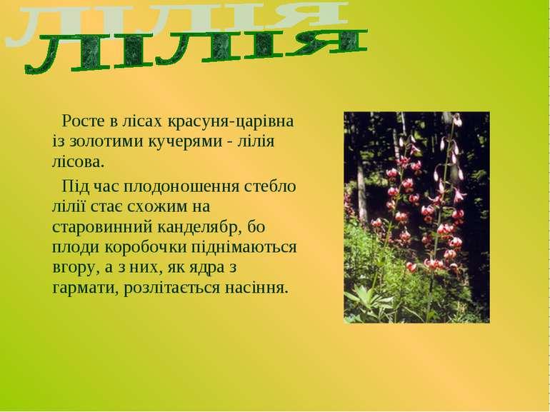 Росте в лісах красуня-царівна із золотими кучерями - лілія лісова. Під час пл...