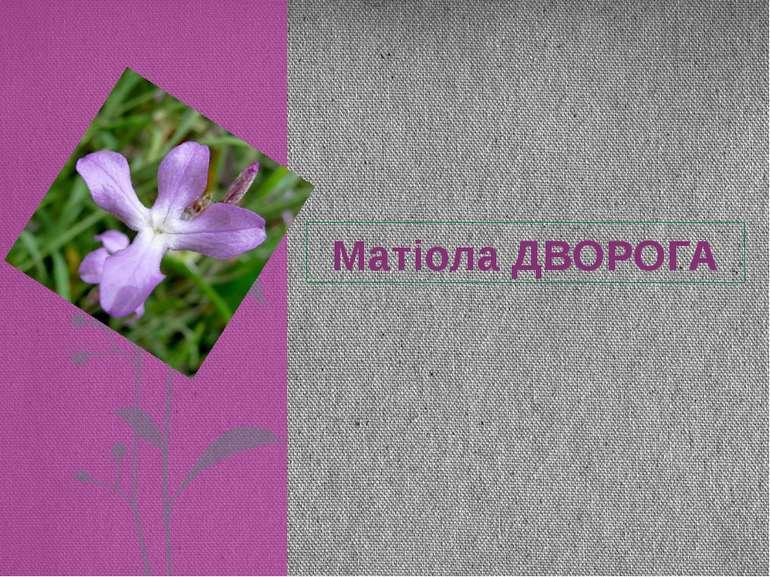 Матіола ДВОРОГА