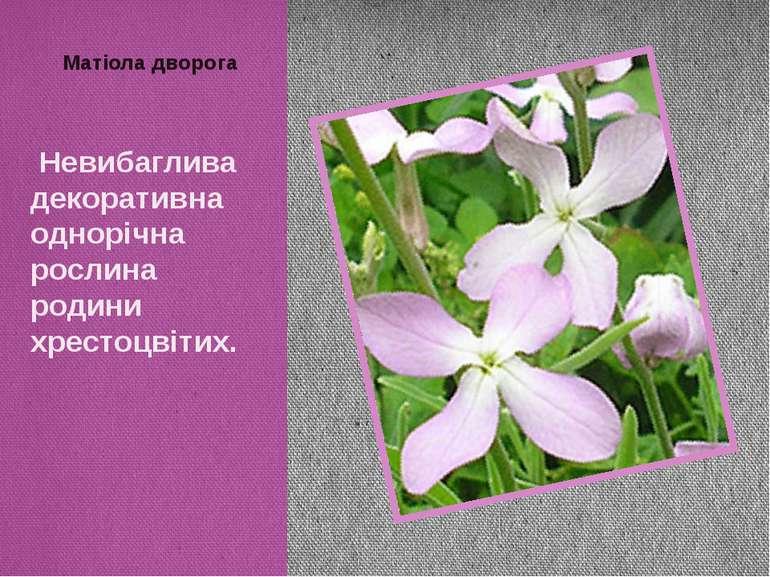 Матіола дворога Невибаглива декоративна однорічна рослина родини хрестоцвітих.