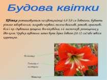 Квітка розташовується на квітконіжці 4,0-5,0 см довжини, бувають різного заба...