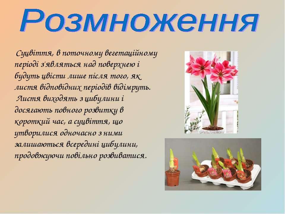 Суцвіття, в поточному вегетаційному періоді з'являться над поверхнею і будуть...