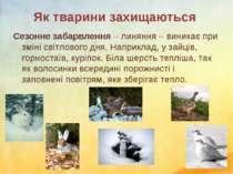 Як тварини захищаються Сезонне забарвлення – линяння – виникає при зміні світ...