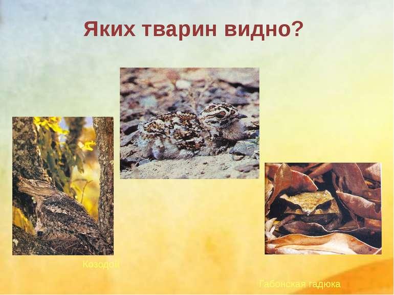 Габонская гадюка Козодой Яких тварин видно?