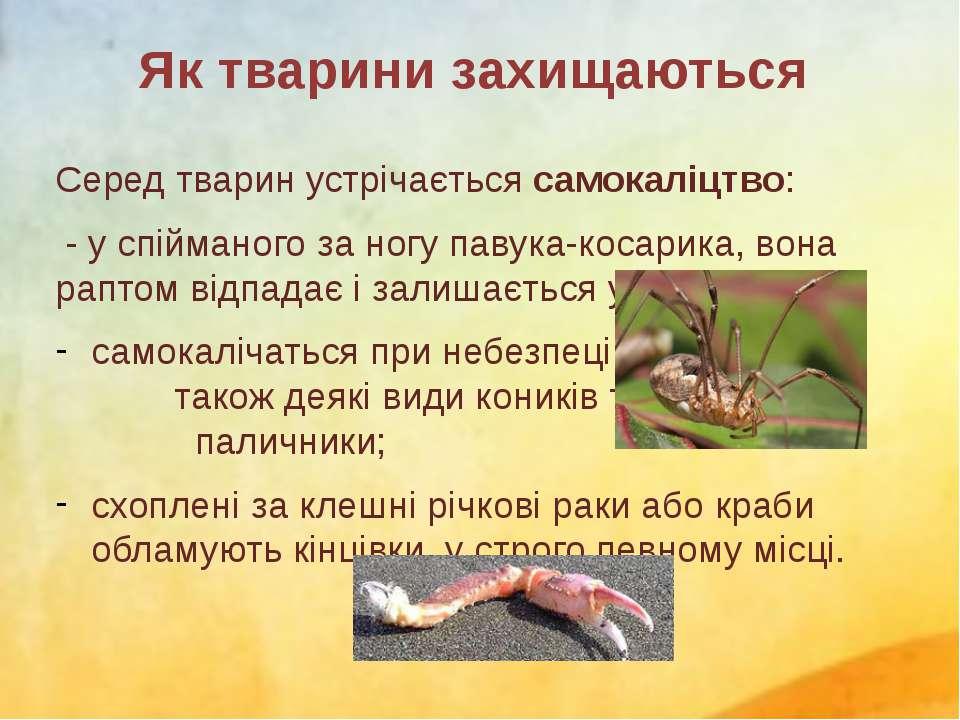 Серед тварин устрічається самокаліцтво: - у спійманого за ногу павука-косарик...