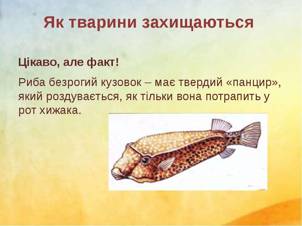 Цікаво, але факт! Риба безрогий кузовок – має твердий «панцир», який роздуває...