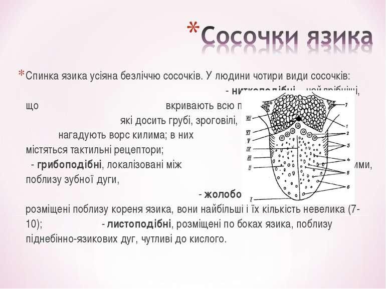 Спинка язика усіяна безліччю сосочків. У людини чотири види сосочків: - нитко...