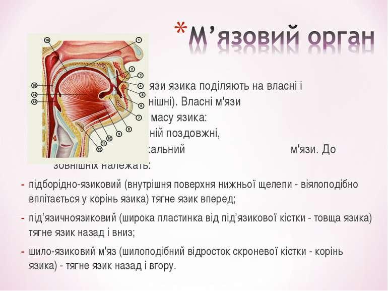 М'язи язика поділяють на власні і скелетні (зовнішні). Власні м'язи складають...