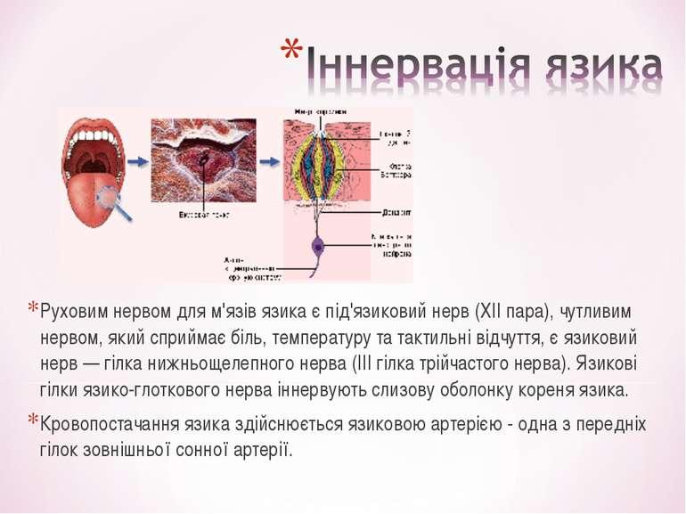 Руховим нервом для м'язів язика є під'язиковий нерв (XII пара), чутливим нерв...