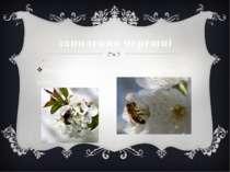 запилення черешні Для запиленняквіток потрібна посадкане менше 2-3 дерев.