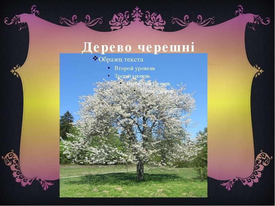 Дерево черешні