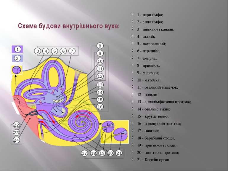Схема будови внутрішнього вуха: 1 -перилімфа; 2 -ендолімфа; 3 - п...