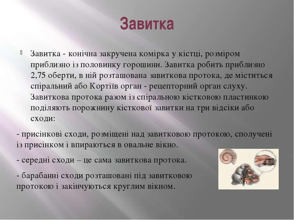 Завитка Завитка - конічна закручена комірка у кістці, розміром приблизно із п...