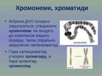 Хромонеми, хроматиди Фібрили ДНП попарно закручуються, утворюючи хромонеми, я...