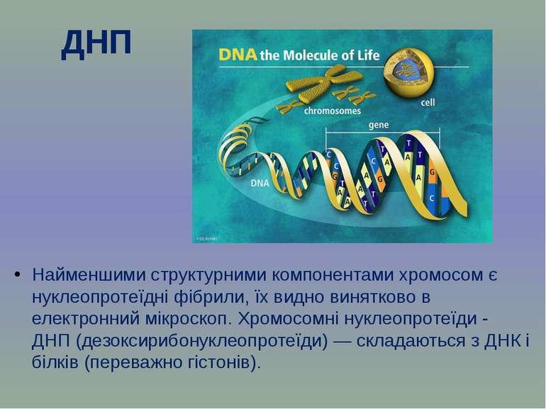 ДНП Найменшими структурними компонентами хромосом є нуклеопротеїдні фібрили, ...