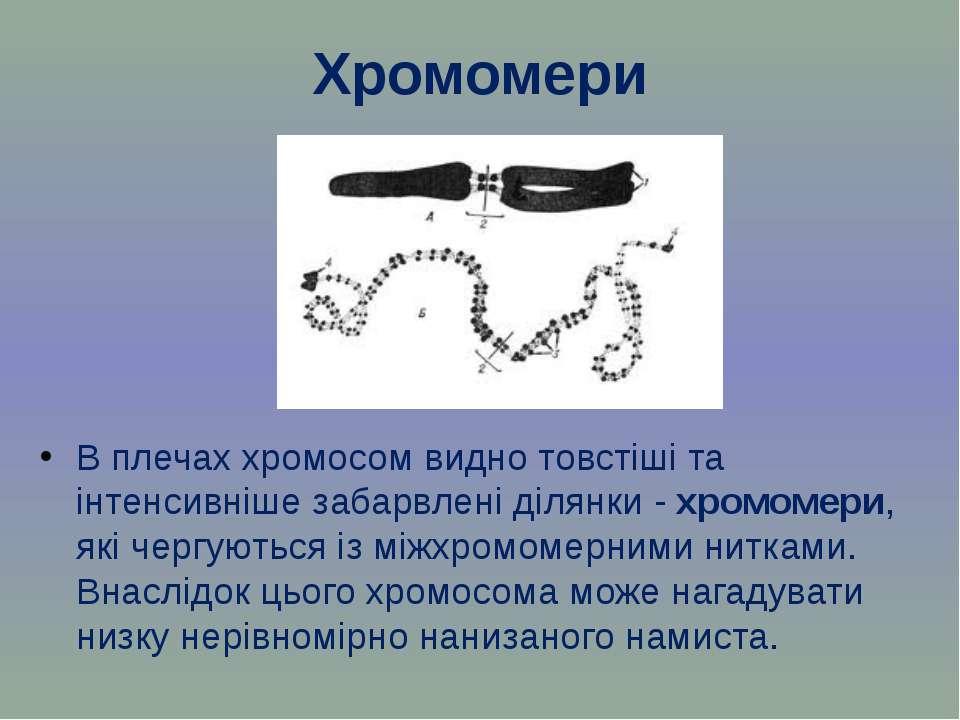 Хромомери В плечах хромосом видно товстіші та інтенсивніше забарвлені ділянки...