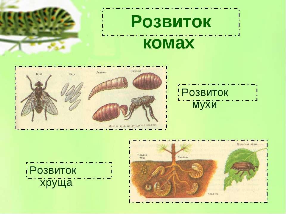 Розвиток комах Розвиток мухи Розвиток хруща