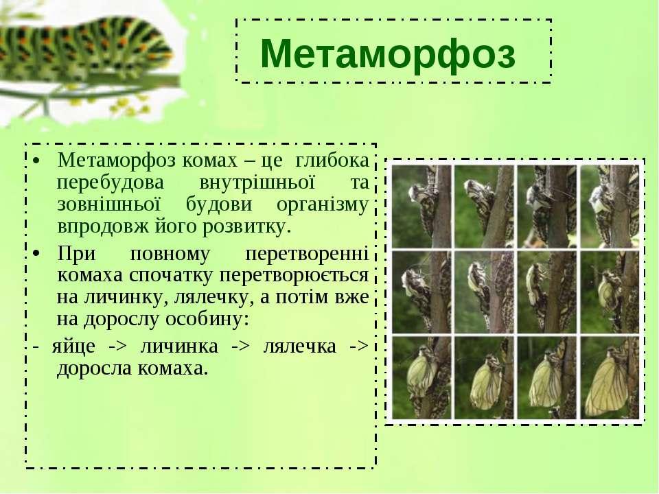 Метаморфоз комах – це глибока перебудова внутрішньої та зовнішньої будови орг...