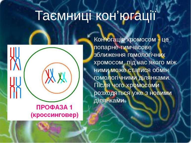 Кон'югація хромосом - це попарне тимчасове зближення гомологічних хромосом, п...