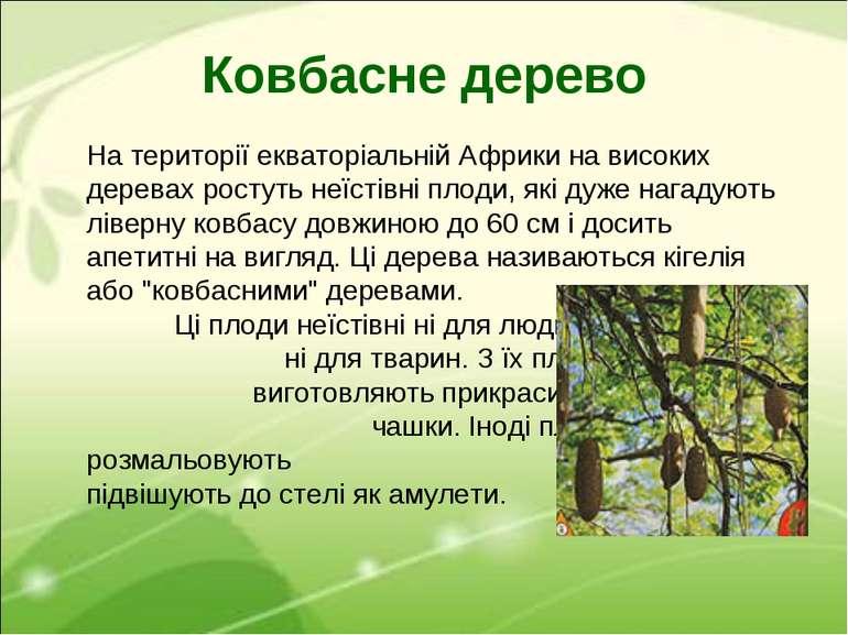 Ковбасне дерево На території екваторіальній Африки на високих деревах ростуть...