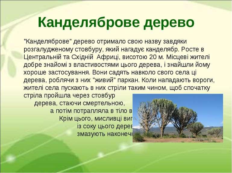 """Канделяброве дерево """"Канделяброве"""" дерево отримало свою назву завдяки розгалу..."""